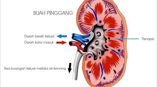 Anatomi buah pinggang manusia