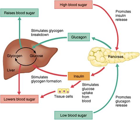 Fungsi Hormon Insulin Diabetes