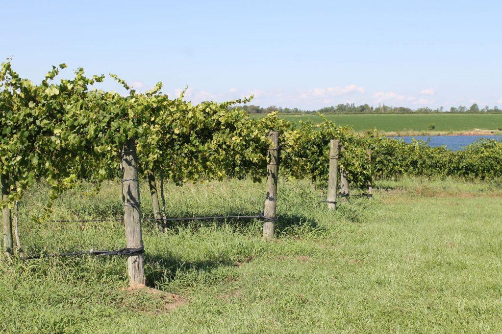 Seluas 600 ekar ladang Paul Vineyards merupakan pengeluar anggur Muscadine terbesar dan utama di dunia