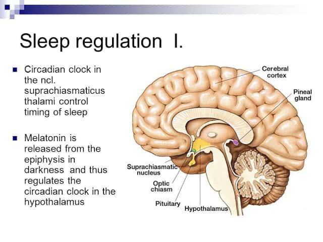 Suprachiasmatic (SCN) dalam otak ibarat body clock