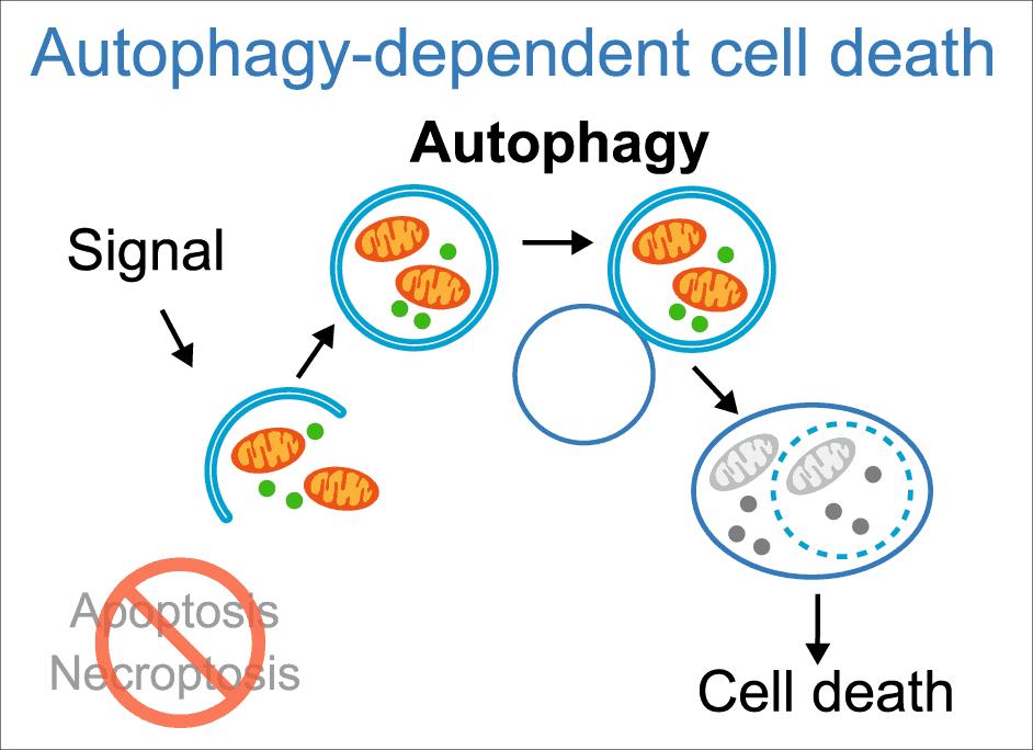 Proses autophagy lebih mudah didapati dengan mengurangkan kekerapan makan