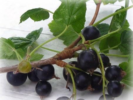 blackcurrant resv shaklee